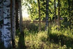 Brzoza i trawa na zmierzch wsi Obrazy Royalty Free