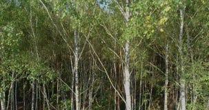 Brzoza las, brzoza lasowy odgórny widok zdjęcie wideo