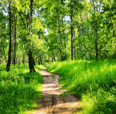 Brzoza las na słonecznym dniu Zieleni drewna w lecie Fotografia Royalty Free