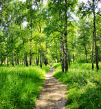 Brzoza las na słonecznym dniu Zdjęcia Stock
