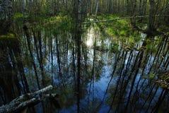 Brzoza las odbijający w wodnej wiosny wysokiej wodzie Zdjęcie Stock