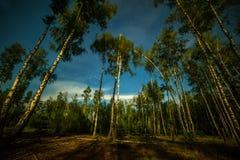 Brzoza las przy nocą iluminującą światłem księżyc Zdjęcie Stock