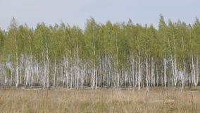 Brzoza las przy wiosną zbiory wideo