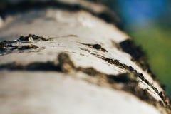 Brzoza las w świetle słonecznym Fotografia Royalty Free