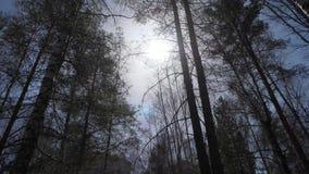 Brzoza las w świetle słonecznym w ranku Brzoza gaj w jesieni zbiory wideo