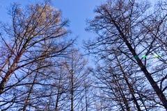 Brzoza las w opóźnionej jesieni Zdjęcie Royalty Free