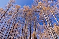 Brzoza las w opóźnionej jesieni Obraz Royalty Free