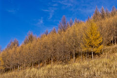 Brzoza las w opóźnionej jesieni Obraz Stock