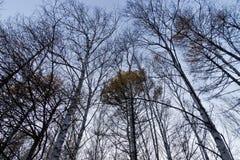 Brzoza las w opóźnionej jesieni Zdjęcie Stock