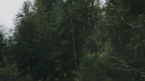 Brzoza las w ruchu zbiory wideo