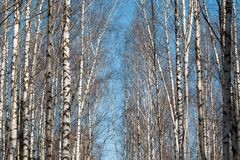 Brzoza las z łysymi gałąź bez liści w rosjanów wi Fotografia Stock