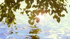 Brzoza liście nad woda zbiory
