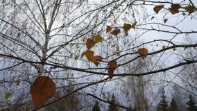 Brzoza liście oscylują w wiatrze zbiory