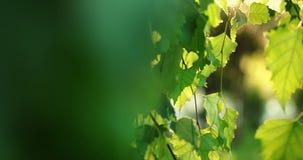 Brzoza liście poruszający na wiatru strzale z naturalnym słońcem migoczą zbiory wideo