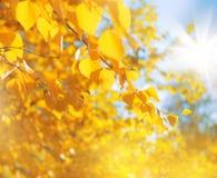 Brzoza liście w świetle słonecznym obraz stock