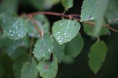 Brzoza liście w rosa kroplach fotografia stock