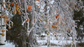 Brzoza liście zakrywają z lodem po deszczu w zimie zbiory wideo