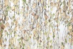 Brzoza liście w jesieni colours Zdjęcie Stock