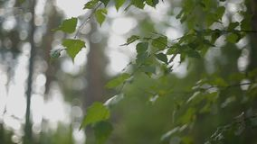 Brzoza opuszcza kiwanie w wiatrze zdjęcie wideo