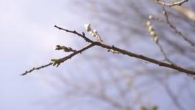 Brzoza pączkuje na drzewie przeciw niebieskiemu niebu, tło, kopii przestrzeń, natura zbiory