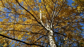 Brzoza przeciw niebu w jesieni zbiory wideo