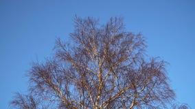 Brzoza rozgałęzia się bez liści w wczesnej wiośnie przeciw niebieskiemu niebu zdjęcie wideo