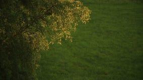 Brzoza rozgałęzia się kiwanie zbiory