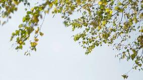 Brzoza rozgałęzia się kiwanie w wiatrze zbiory wideo