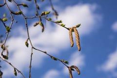 Brzoza rozgałęzia się przeciw niebieskiemu niebu Zbliżenie wiosny brzoza Pączkuje przeciw niebieskiemu niebu Fotografia Royalty Free