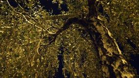 Brzoza rozgałęzia się w świetle latarni ulicznej zbiory