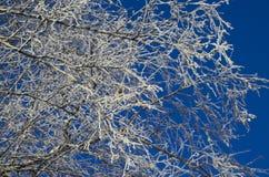 Brzoza rozgałęzia się w hoarfrost Fotografia Royalty Free