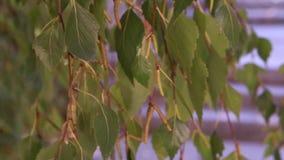 Brzoza rozgałęzia się z liśćmi i pączkami zbiory