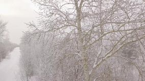 Brzoza w śniegu zbiory wideo