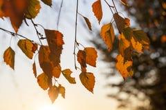 Brzoza w jesieni, zakończenie Fotografia Royalty Free