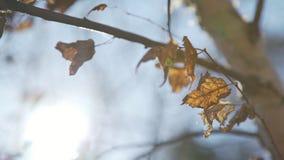 Brzoza z żółtymi jesień liśćmi Suchy żółty ulistnienie na brzozie zdjęcie wideo