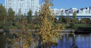 Brzoza z żółtymi liśćmi zbiory