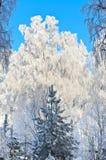 Brzoza z mrozem w lesie Obraz Stock