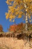 Brzoza z nagimi korzeniami w jesieni zdjęcia royalty free