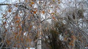Brzoza zakrywa z lodem po deszczu w zimie zbiory
