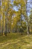 Brzozy aleja w jasnym jesieni popołudniu obrazy stock