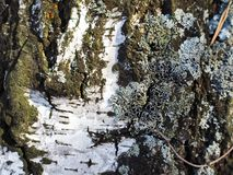 Brzozy barkentyna z mech obraz stock