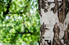 Brzozy barkentyny tekstury tła papier Zdjęcie Royalty Free