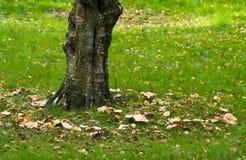 brzozy czarodziejskiego pierścionku drzewo Zdjęcie Stock