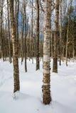 Brzozy deciduous drzewa las w śniegu przy Dużym Podpalanym stanu parkiem na Madeline wyspie w Północnym Wisconsin obrazy royalty free