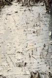 Brzozy drewna tekstura Zdjęcia Stock