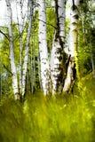 brzozy drewno Zdjęcie Stock