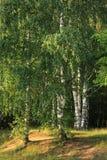 brzozy drewno Fotografia Stock