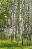 brzozy drewno Obrazy Stock