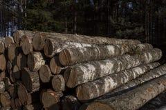 Brzozy drewno Zdjęcie Royalty Free