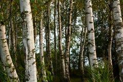 Brzozy drewno w późnym lecie Fotografia Stock